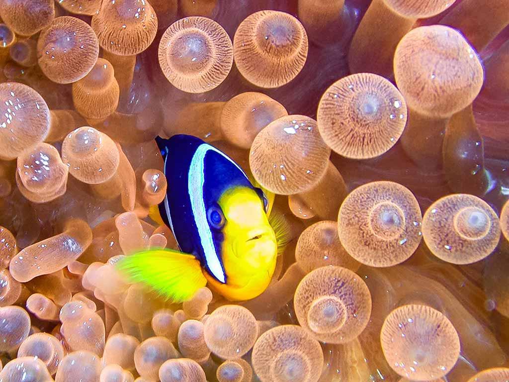 Maldive - Anemone